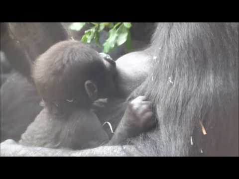 Gorilla Shinda and Her Tired Baby in the Afternoon  :)