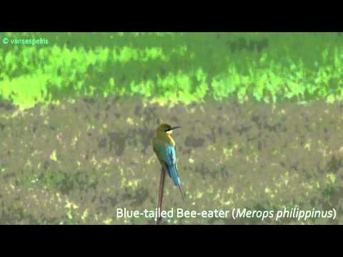 Birds In Sri Lanka. Blue-tailed Bee-eater (merops Philippinus) video