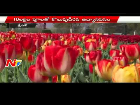 Tulip Garden Near Dal Lake In Srinagar Attracts Tourists  | NTV