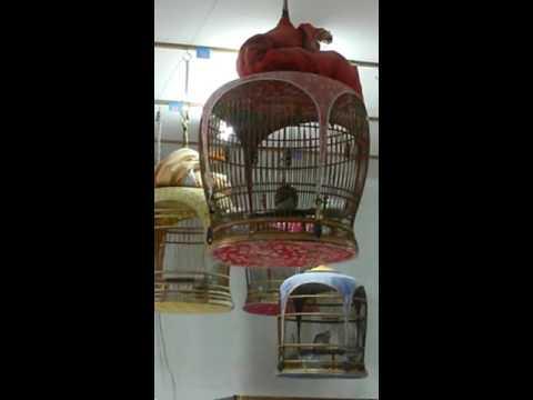นกเขาชวาเสียง เล็ก ok.Birdfarm