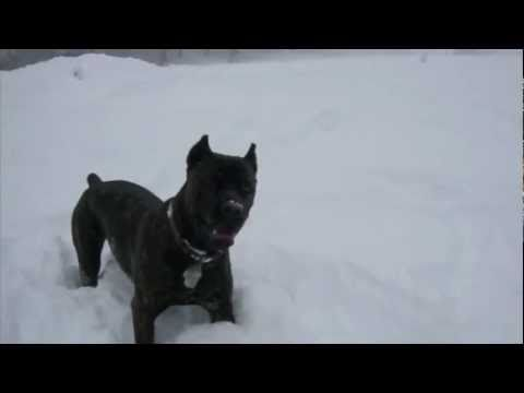Lucifer Cane Corso winter 2010, Wenatchee, WA.  Deep snow!