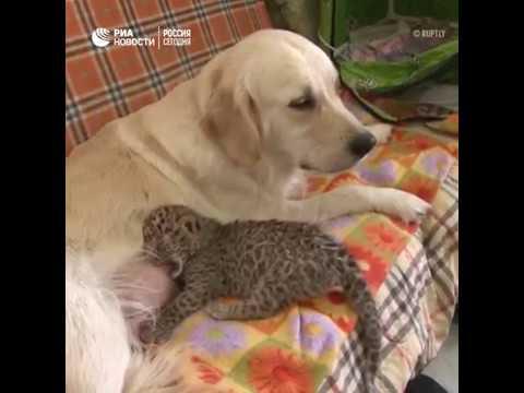 "Собака ""удочерила"" детеныша леопарда во Владивостоке"
