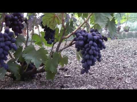 Зреют ранние сорта винограда.Виноградник Грибанова Н.В. 6 августа 2013г.