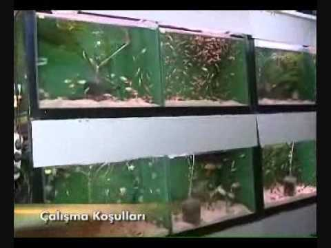 Süs Balıkları Üretim Teknisyeni