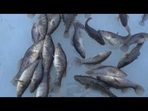 Омская рыбалка.Ротан из подо льда
