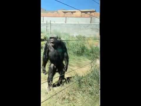 Шимпанзе приколист
