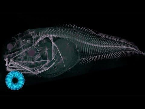 """""""Aliens"""" der Tiefsee: Geisterhafte neue Spezies entdeckt! - Clixoom Science & Fiction"""