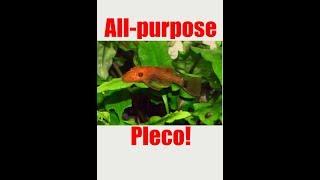 Bushynose Pleco- Part 2!