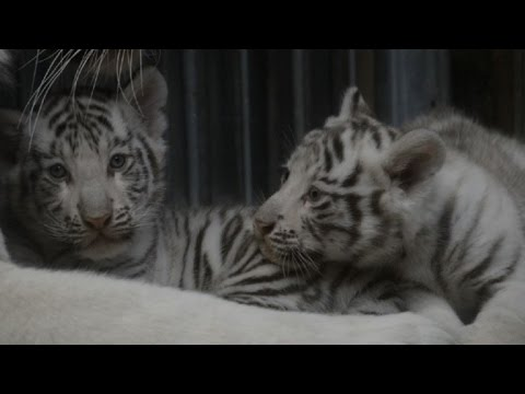 Two Bengal white tigers born at Liberec Zoo in Czech Republic