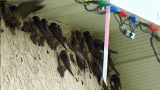 Swallows swallow: Alberta home taken over by migratory birds