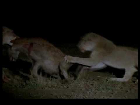 female lions vs hyenas.