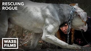 Hope For Starving Dog Chained To Bridge Happy To Be Rescued: Ep 26 Rescuing Rogue w Detroit Pit Crew