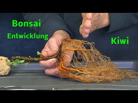 Bonsai Indoor Bonsai Outdoor Bonsai Kiwi Entwicklung zum Bonsai