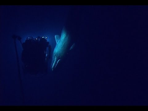 Rare Sperm Whale Encounter with ROV | Nautilus Live