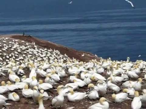 Gannet Colony on Bonadventure Island, Perce - Quebec (July 2012)