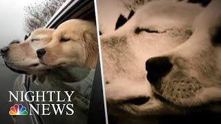 Blind Golden Retriever Has His Own Four-Legged 'Seeing-Eye' Companion | NBC Nightly News