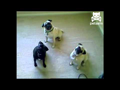 Pugs try to understand English