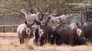 【珍光景】サイの背中の上にのるヤギたち