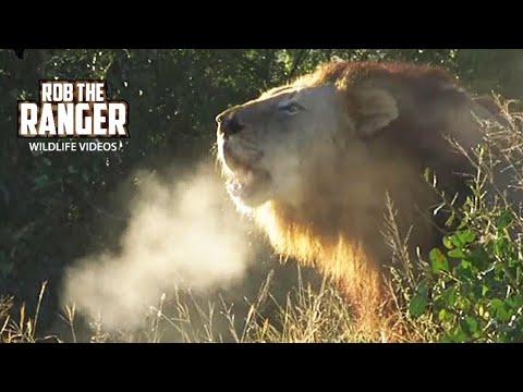 Excellent Wild Lion Roar - Steaming Breath! video