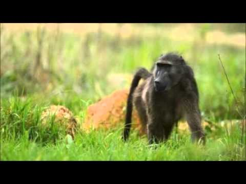 Zimbabwe baboons take YA FM breakfast show off air