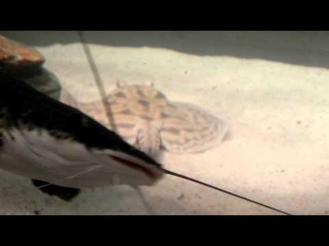 Aquário de carnívoros(pirarucu, tucunaré,traíra,arraia,lepsosteus)