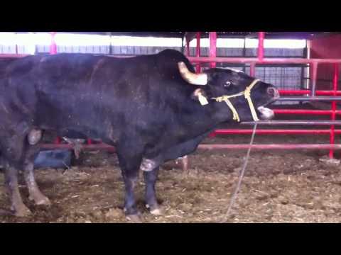 Screaming Bull Original