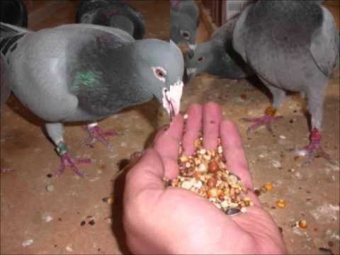 gołębie pocztowe cz ,2