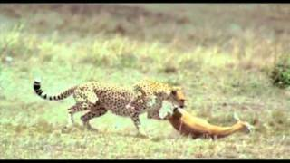 Cheetah & Gazelle - Challenge of life