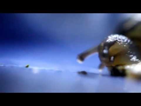 Adorable Baby Snail eats an Earwig