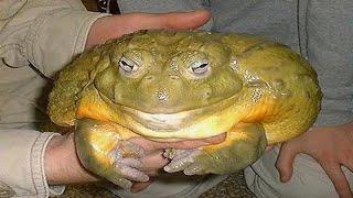 World,s Biggest Frog - Goliath Frog