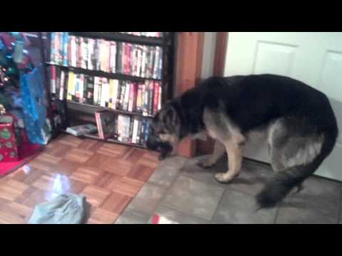 German Shepherd in trouble