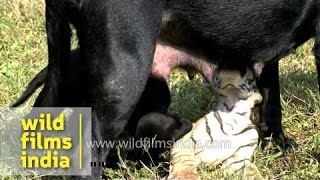 Tiger suckles milk from mother dog's teats