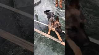 anmol Kennel KCI registered German Shepherd puppies 4.5 months