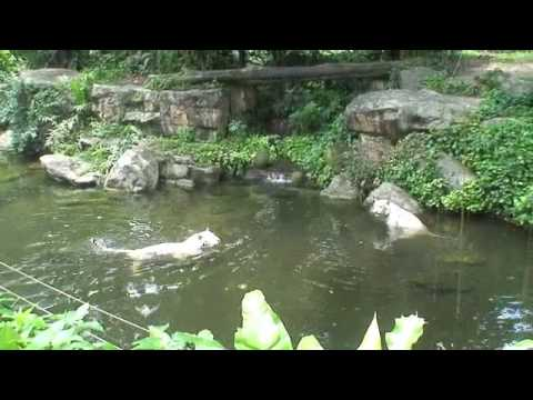 Singapore Zoo 2010 - White Loin video