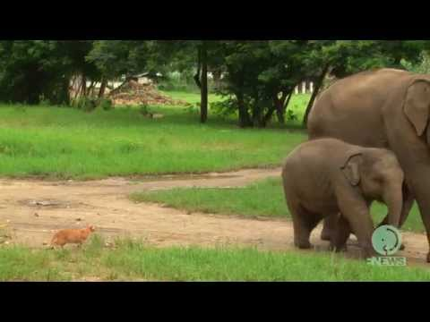 Baby elephant VS a cat