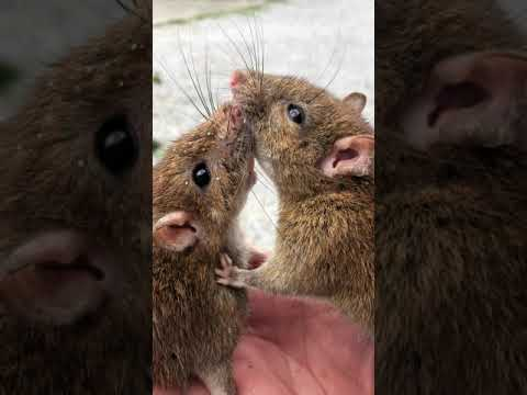 クマネズミの画像 p1_37