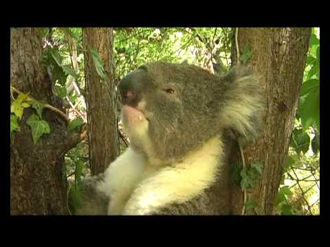 A Thirsty Koala Returns and Sneezes