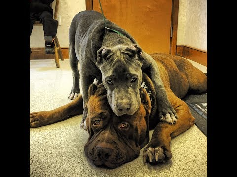 Incredible GIANT pitbulls bond! THE HULK & KOBE 💞