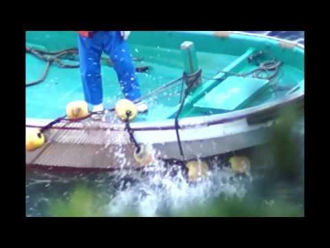 Risso's dolphin slaughter in Taiji, Japan