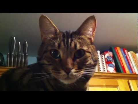 Charlie the Cool Bengal Cat Hanging Out on Top of the Fridge