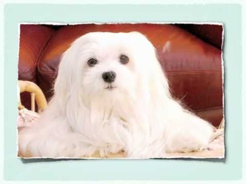 Maltese Dog Training