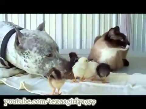 Смешные цеплята с кошкой и собакой  superkot ucoz ru