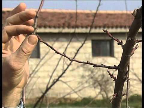 La potatura del susino allevato a vaso vita in campagna for Potatura limoni in vaso