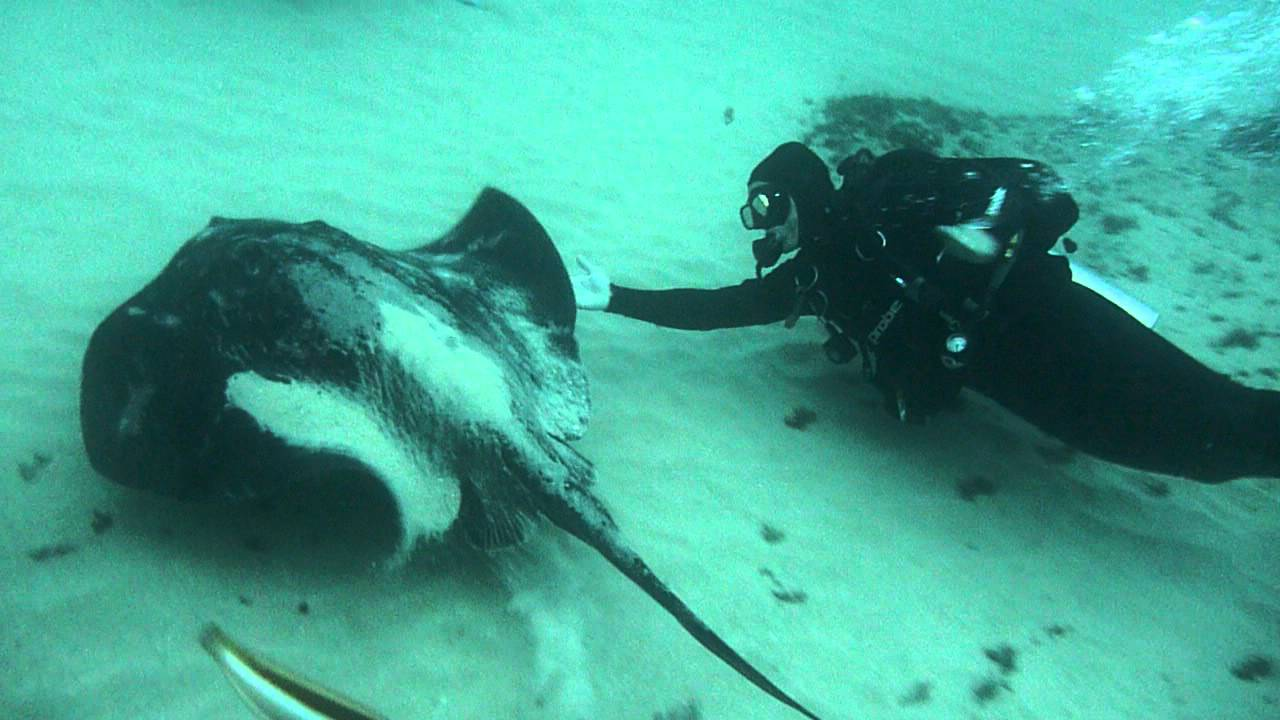 Close encounter with a Bull Ray by TBD Team - YouTube