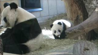 Panda Twins playing with Panda Mum
