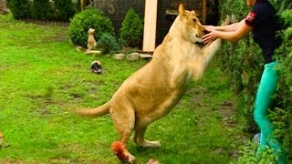 Lion attacks man at home-NEW-extended version