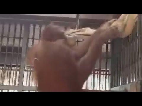 Orango tando transforma seu lençol em uma rede bem aconchegante