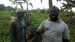 Bitterleaf money spinner farming in Nigeria
