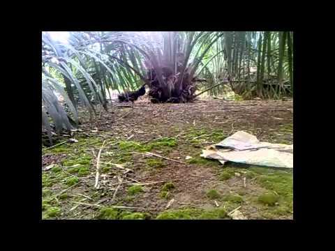 Ayam Hutan Pikat Betina 8 video