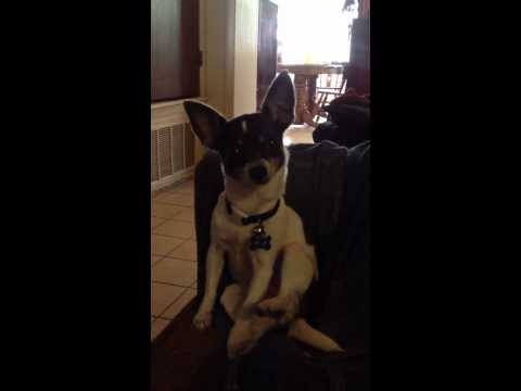 Chihuahua Masterbating video